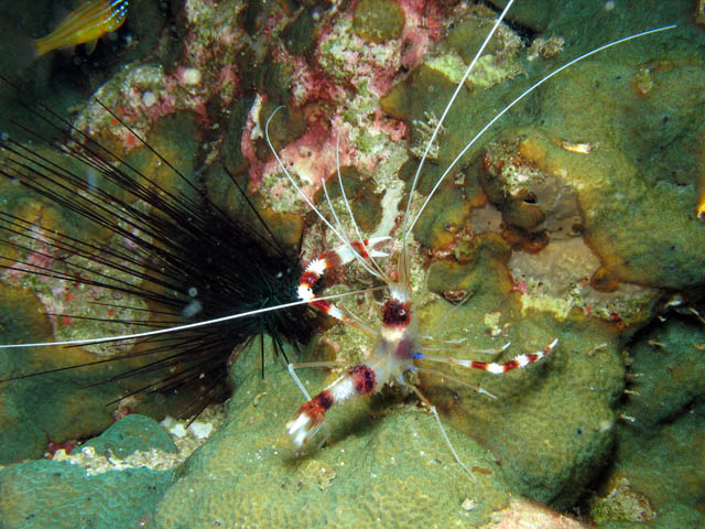 Cleaner shrimp (Stenopus hispidus). Richelieu Rock dive site. Thailand.