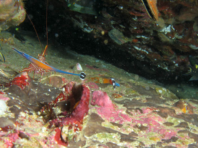 Shrimp and pipefish. Richelieu Rock dive site. Thailand.