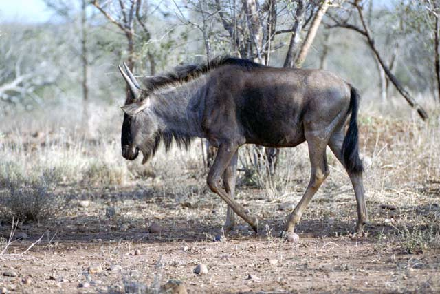Blue wildebeest, Kruger National Park. South Africa.
