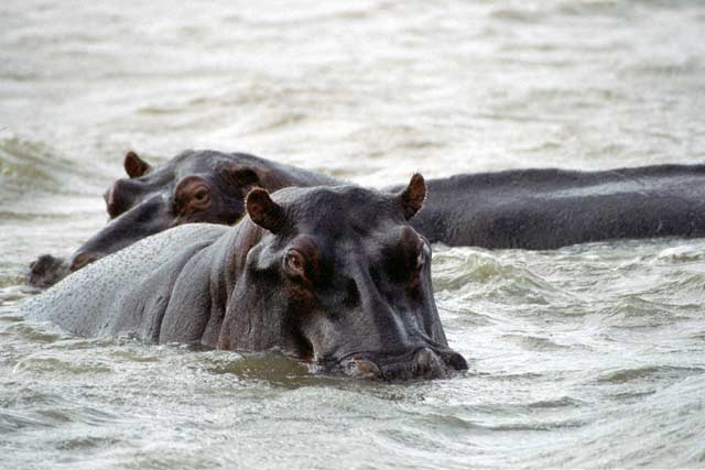 Hippos, St. Lucie National Park. South Africa.