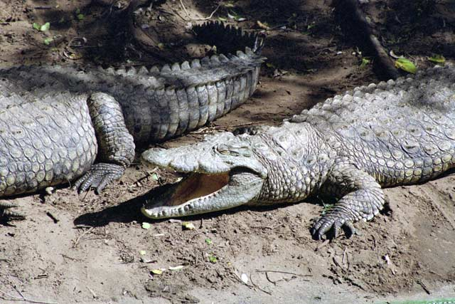 Crocodile centre, St. Lucie National Park. South Africa.