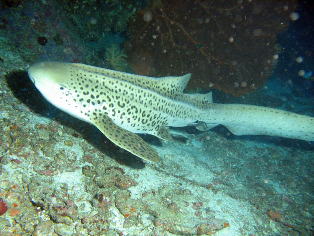 Leopard sharks, Koh Bon pinnacle dive site. Thailand.