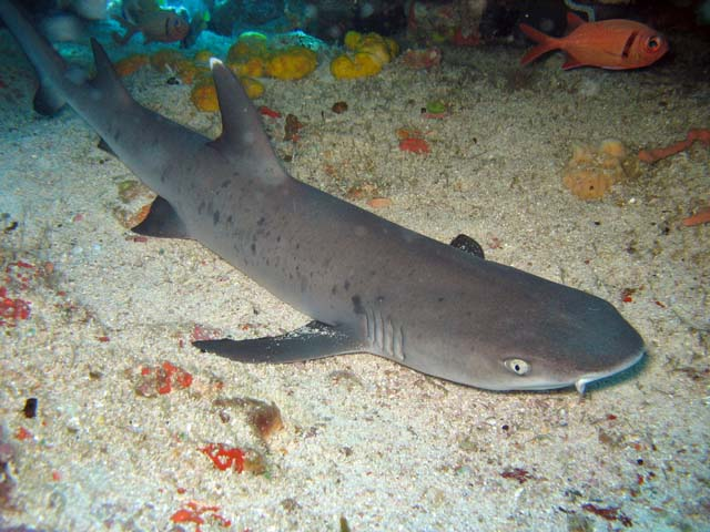 Reef shark, Bangka dive sites. Sulawesi,  Indonesia.