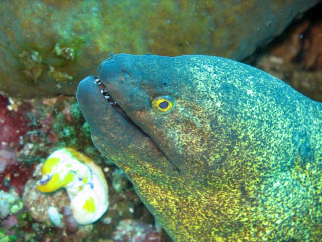 Moray eel, Bangka dive sites. Sulawesi,  Indonesia.