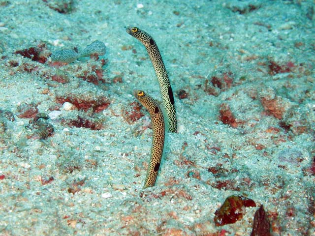 Garden eel, Bangka dive sites. Sulawesi,  Indonesia.