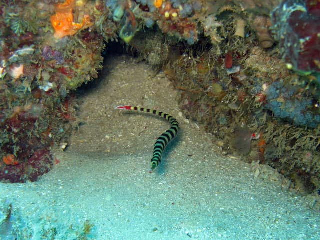Pipefish, Bangka dive sites. Sulawesi,  Indonesia.