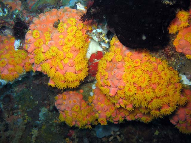 Soft corals, Bangka dive sites. Sulawesi,  Indonesia.