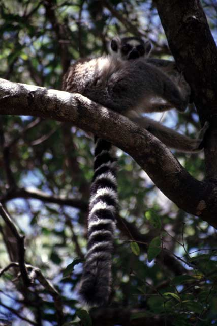 Ring-tailed lemur, l'Isalo National park. Madagascar.