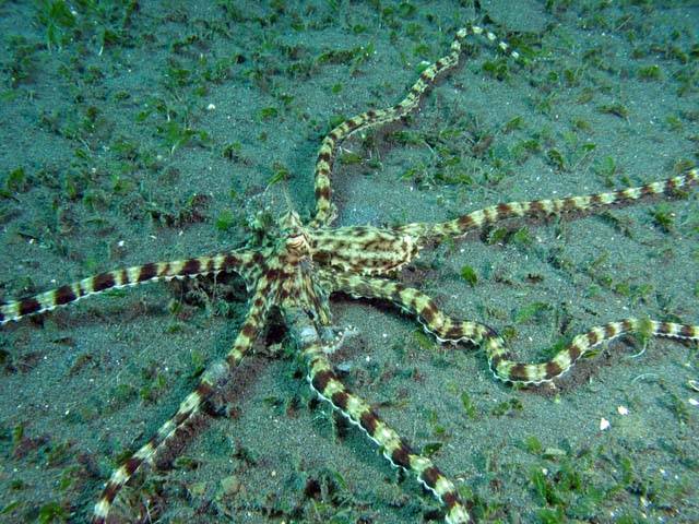 Mimic octopus, Lembeh dive sites. Sulawesi,  Indonesia.