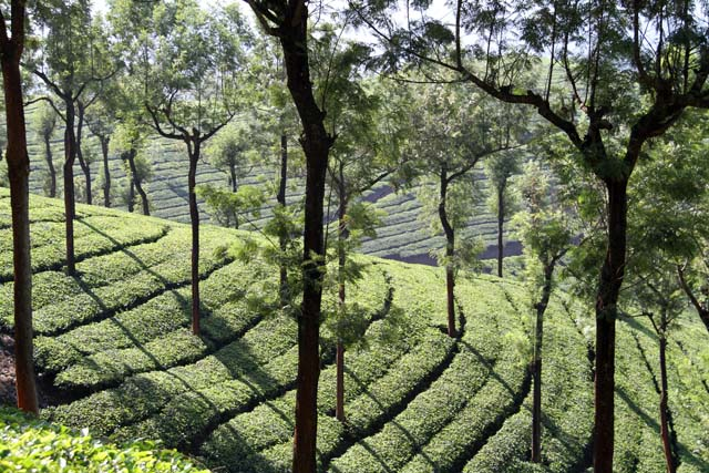 Tea plantations around Munnar town, Kerala. India.