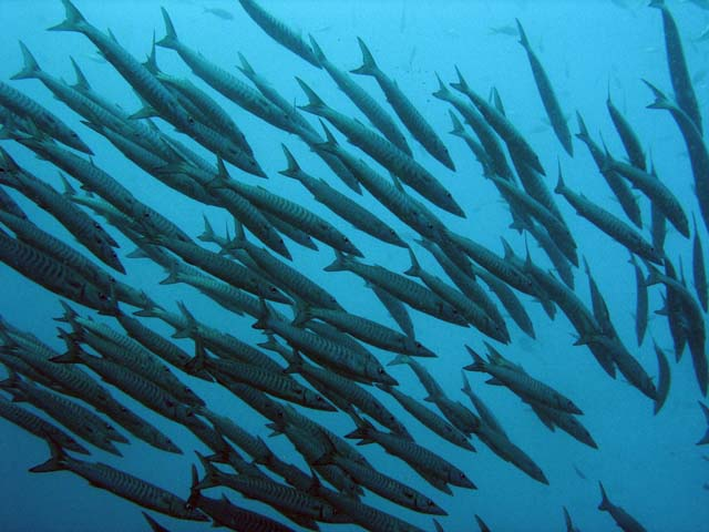 Group of Barracudas. Raja Ampat. Papua,  Indonesia.
