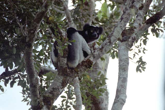 Indri-indri, the largest of the lemurs and almost tailless. Andasibe-Mantadia National park. Madagascar.