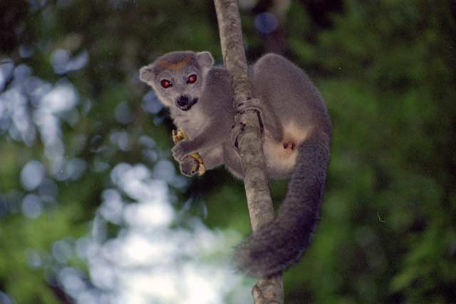Crowned lemur, l'Ankarana National park. Madagascar.