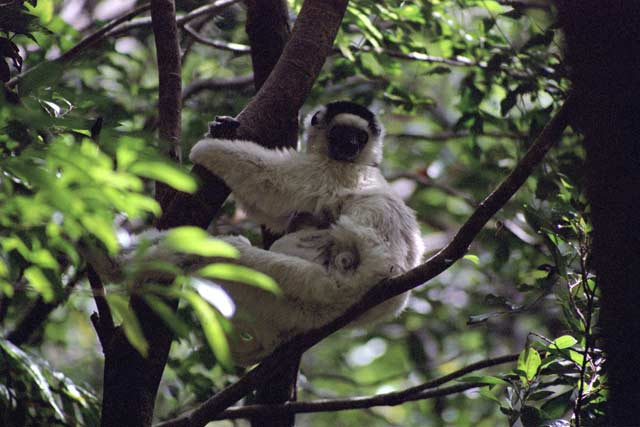 White sifaka, l'Isalo National park. Madagascar.