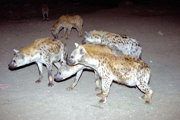Hyenas during feeding at Harar. East,  Ethiopia.