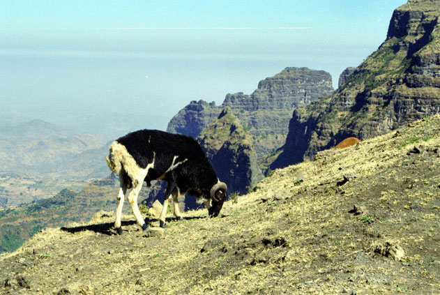 Sheep in Simien mountains. North,  Ethiopia.