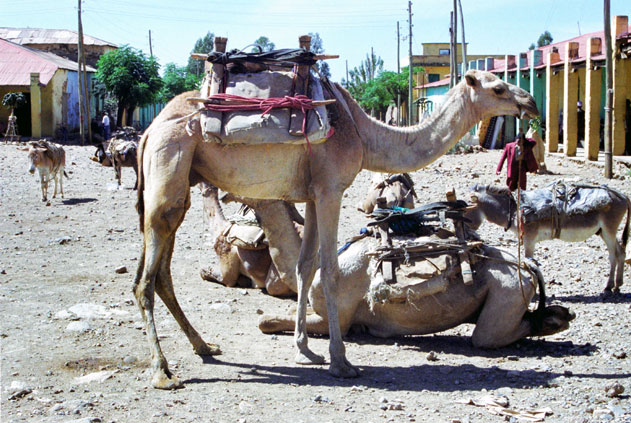 Camel at Aksum. North,  Ethiopia.