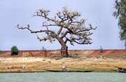 Baobab on the bank of Niger river. Mali.
